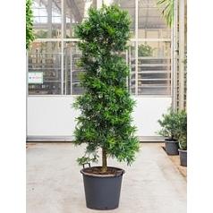 Подокарпус (Многоплодник) macrophyllus bush (230-260) Диаметр горшка — 50 см Высота растения — 240 см