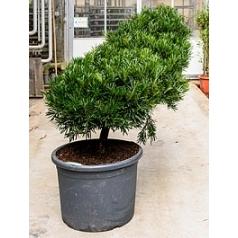 Подокарпус (Многоплодник) macrophyllus cascade Диаметр горшка — 50 см Высота растения — 150 см