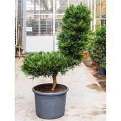 Подокарпус (Многоплодник) macrophyllus chair Диаметр горшка — 50 см Высота растения — 180 см