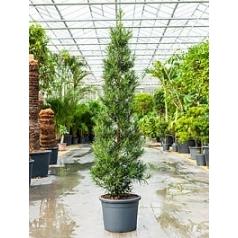 Подокарпус (Многоплодник) macrophyllus pyramid (200-220) Диаметр горшка — 40 см Высота растения — 200 см