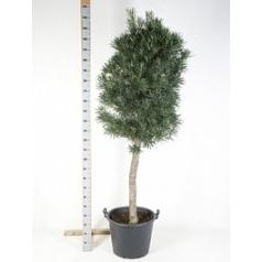 Подокарпус (Многоплодник) macrophyllus stem (200-250) Диаметр горшка — 50 см Высота растения — 225 см