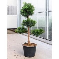 Подокарпус (Многоплодник) macrophyllus stem/multi ball Диаметр горшка — 55 см Высота растения — 200 см