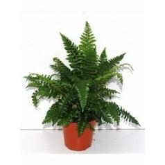 Многорядник (папоротник) polyblephanum Диаметр горшка — 12 см Высота растения — 30 см