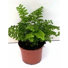 Многорядник (папоротник) polyblephanum 20/tray Диаметр горшка — 8.5 см Высота растения — 20 см