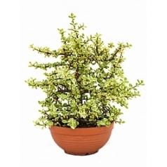 Портулакария африканская afra variegata bush Диаметр горшка — 20 см Высота растения — 60 см