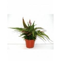Птерис (папоротник) tricolor Диаметр горшка — 12 см Высота растения — 25 см