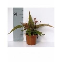Птерис (папоротник) tricolor 20/tray Диаметр горшка — 8.5 см Высота растения — 20 см