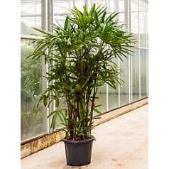 Рапис excelsa tuft (180-200) Диаметр горшка — 45 см Высота растения — 200 см