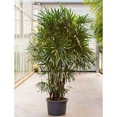 Рапис excelsa tuft (180-200) Диаметр горшка — 55 см Высота растения — 260 см