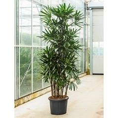 Рапис excelsa tuft (275-300) Диаметр горшка — 60 см Высота растения — 250 см