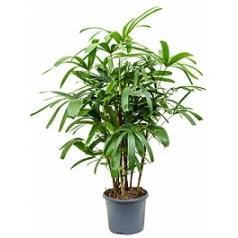 Рапис excelsa tuft Диаметр горшка — 26 см Высота растения — 100 см