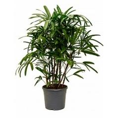 Рапис excelsa tuft Диаметр горшка — 31 см Высота растения — 130 см