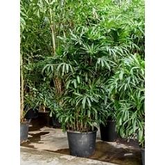 Рапис excelsa tuft Диаметр горшка — 60 см Высота растения — 275 см