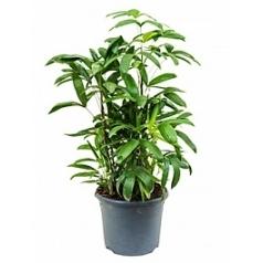 Рапис multifida tuft Диаметр горшка — 26 см Высота растения — 90 см