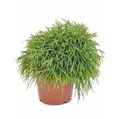 Рипсалис (прутовик) baccifera oasis Диаметр горшка — 17 см Высота растения — 25 см