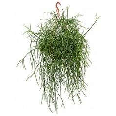 Рипсалис (прутовик) burchelli hanging plant Диаметр горшка — 25 см Высота растения — 50 см