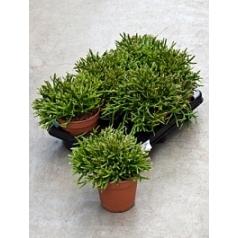 Рипсалис (прутовик) burchellii Диаметр горшка — 12 см Высота растения — 20 см