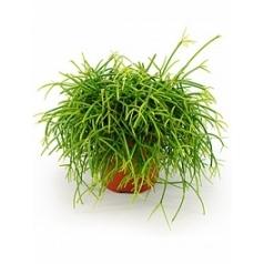 Рипсалис (прутовик) cashero Диаметр горшка — 12 см Высота растения — 20 см
