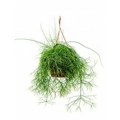 Рипсалис (прутовик) cassutha hanger Диаметр горшка — 21 см Высота растения — 50 см