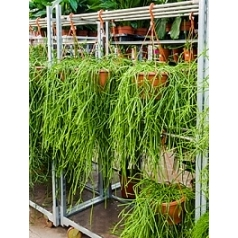 Рипсалис (прутовик) kirbergii hanging plant Диаметр горшка — 25 см Высота растения — 60 см