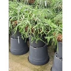 Рипсалис (прутовик) pentaptera hanging basket Диаметр горшка — 35 см Высота растения — 40 см