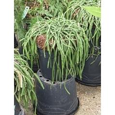 Рипсалис (прутовик) plano hanging basket Диаметр горшка — 35 см Высота растения — 40 см