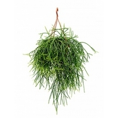Рипсалис (прутовик) pulchra hanger Диаметр горшка — 21 см Высота растения — 50 см