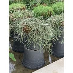 Рипсалис (прутовик) rio cuarto hanging basket Диаметр горшка — 35 см Высота растения — 50 см