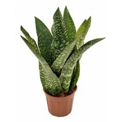Сансевиерия aubrytiana tuft Диаметр горшка — 17 см Высота растения — 50 см
