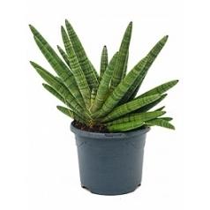 Сансевиерия bocel Диаметр горшка — 21 см Высота растения — 40 см