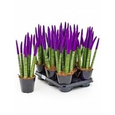 Сансевиерия cy. sp. velvet touchz pastel purple 8-9pp Диаметр горшка — 12 см Высота растения — 40 см