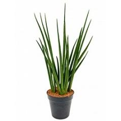 Сансевиерия enjoy 5-6pp Диаметр горшка — 27 см Высота растения — 85 см