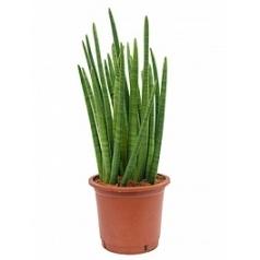 Сансевиерия enjoy 5-6pp Диаметр горшка — 30 см Высота растения — 95 см
