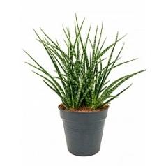 Сансевиерия fernwood tuft Диаметр горшка — 24 см Высота растения — 70 см