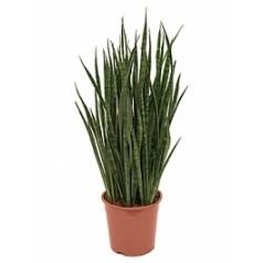 Сансевиерия kirkii tuft Диаметр горшка — 24 см Высота растения — 70 см