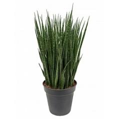 Сансевиерия kirkii tuft Диаметр горшка — 30 см Высота растения — 110 см
