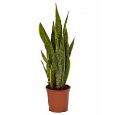 Сансевиерия laurentii tuft Диаметр горшка — 21 см Высота растения — 65 см