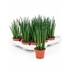 Сансевиерия mikado 16/tray Диаметр горшка — 8 см Высота растения — 25 см
