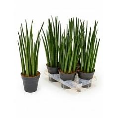 Сансевиерия spikes tuft Диаметр горшка — 15 см Высота растения — 55 см