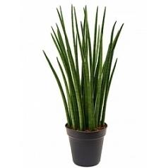 Сансевиерия spikes tuft Диаметр горшка — 24 см Высота растения — 90 см