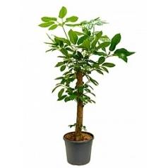 Шеффлера amate stem Диаметр горшка — 35 см Высота растения — 140 см