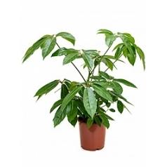 Шеффлера amate tuft 2pp Диаметр горшка — 24 см Высота растения — 90 см