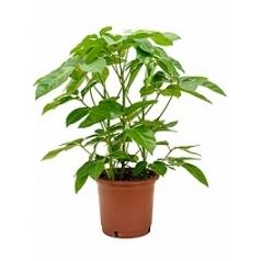 Шеффлера amate tuft Диаметр горшка — 35 см Высота растения — 100 см