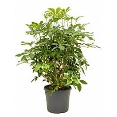 Шеффлера arboricola branched Диаметр горшка — 31 см Высота растения — 110 см