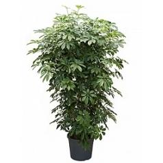 Шеффлера arboricola branched Диаметр горшка — 35 см Высота растения — 120 см