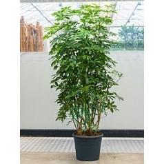 Шеффлера arboricola bush Диаметр горшка — 35 см Высота растения — 160 см