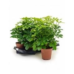 Шеффлера arboricola nora branched Диаметр горшка — 13 см Высота растения — 45 см