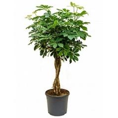 Шеффлера arboricola stem braided Диаметр горшка — 31 см Высота растения — 110 см