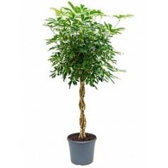 Шеффлера arboricola stem braided Диаметр горшка — 35 см Высота растения — 165 см