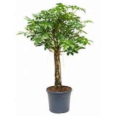 Шеффлера arboricola stem Диаметр горшка — 31 см Высота растения — 120 см